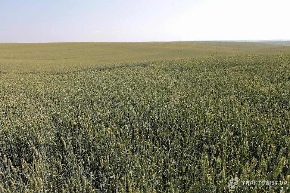 Пшеничне поле Тернопільщини