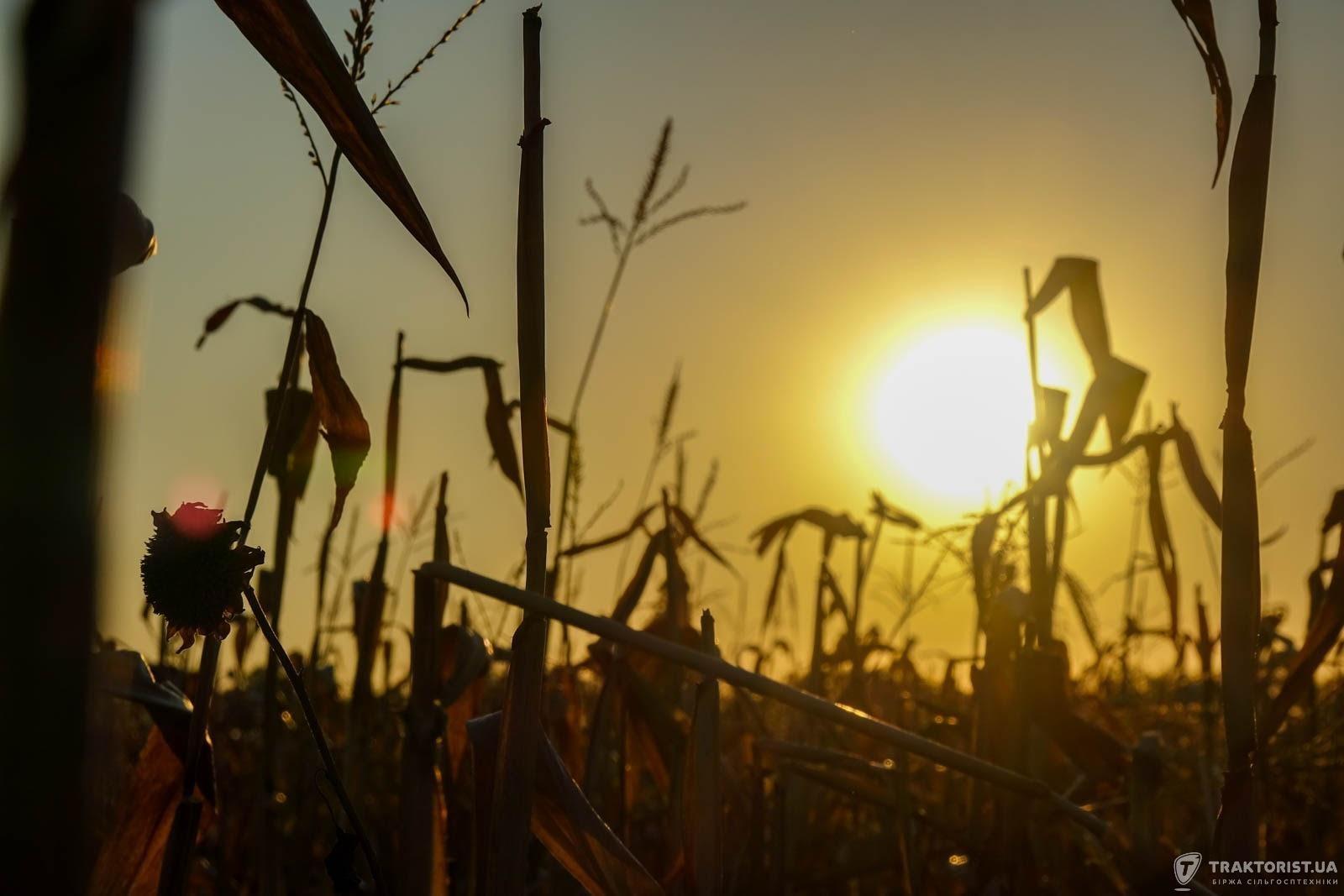 Кукурудза на заході сонця