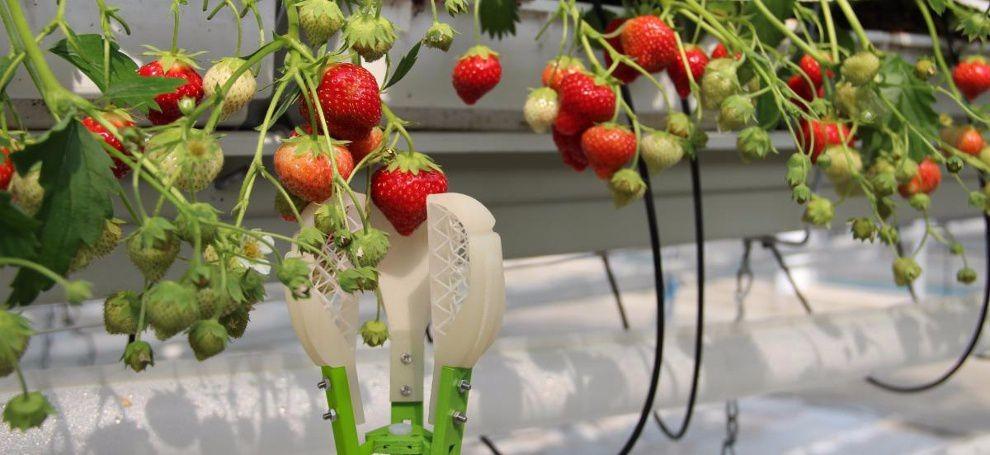 OctinionRubion збирає полуницю