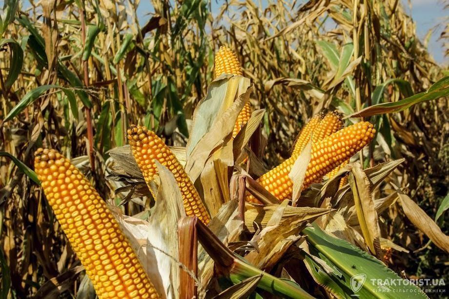 Початки кукурудзи