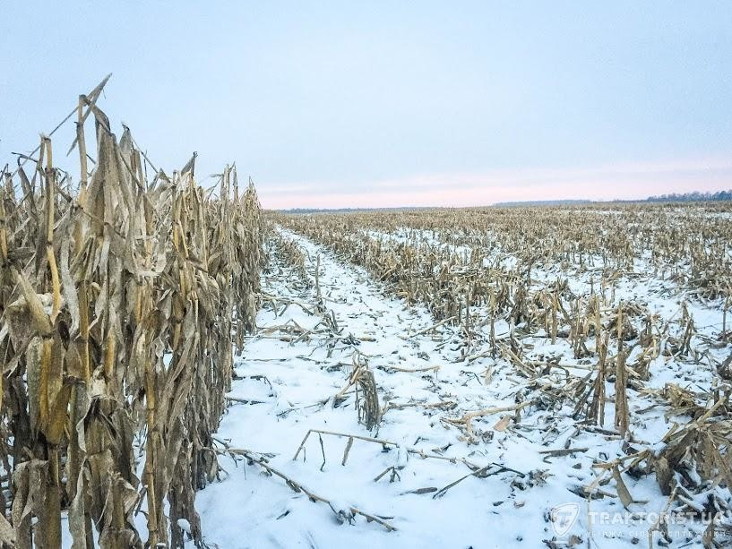Кукурудза на полі СТОВ «Прикордонне»